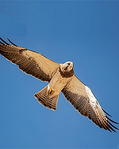 HAwkwatchAdult-Male-Light-Morph-SW-Kwan-