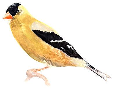 American Goldfinch 1.jpg