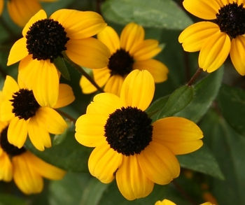 Brown Eyed Susan's are indigenous to Northern Virginia