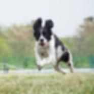宙犬( そらいぬ  )|Run ドッグランやタイムレースなどで走っている一瞬に宙に浮いた様になる姿