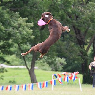 宙犬 そらいぬ|Dog Sports ディスクドッグ、アジリティなどドッグスポーツを楽しむ姿