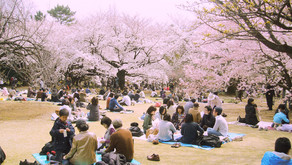 Celebrating hanami overseas