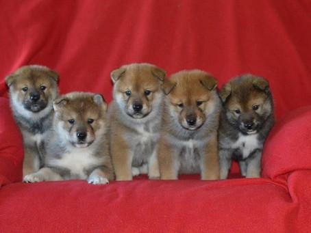 Nori's Pups, 5 weeks...already