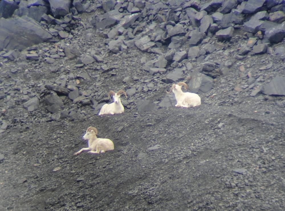 Three Dall sheep rams