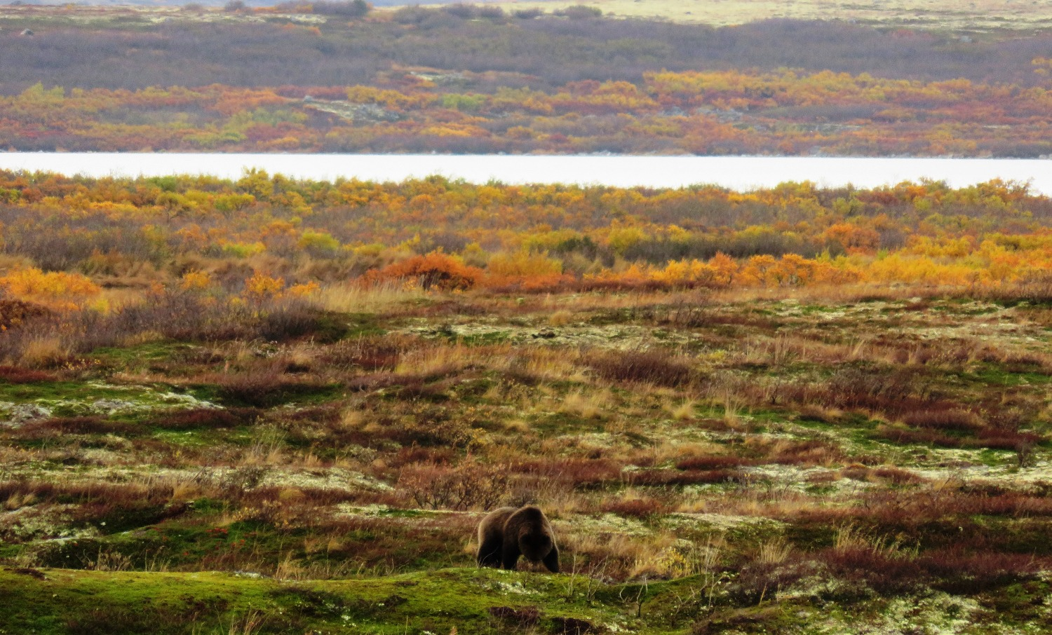 Brown Bear in the Katmai