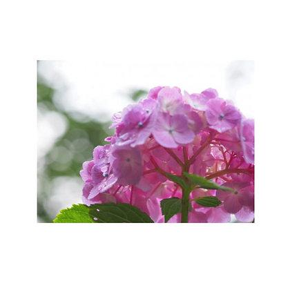 アジサイ (紫陽花)