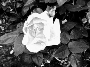While The Roses Bloom – A Short Story