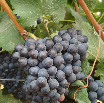 Growth and Ripenning of the Grape Clusters
