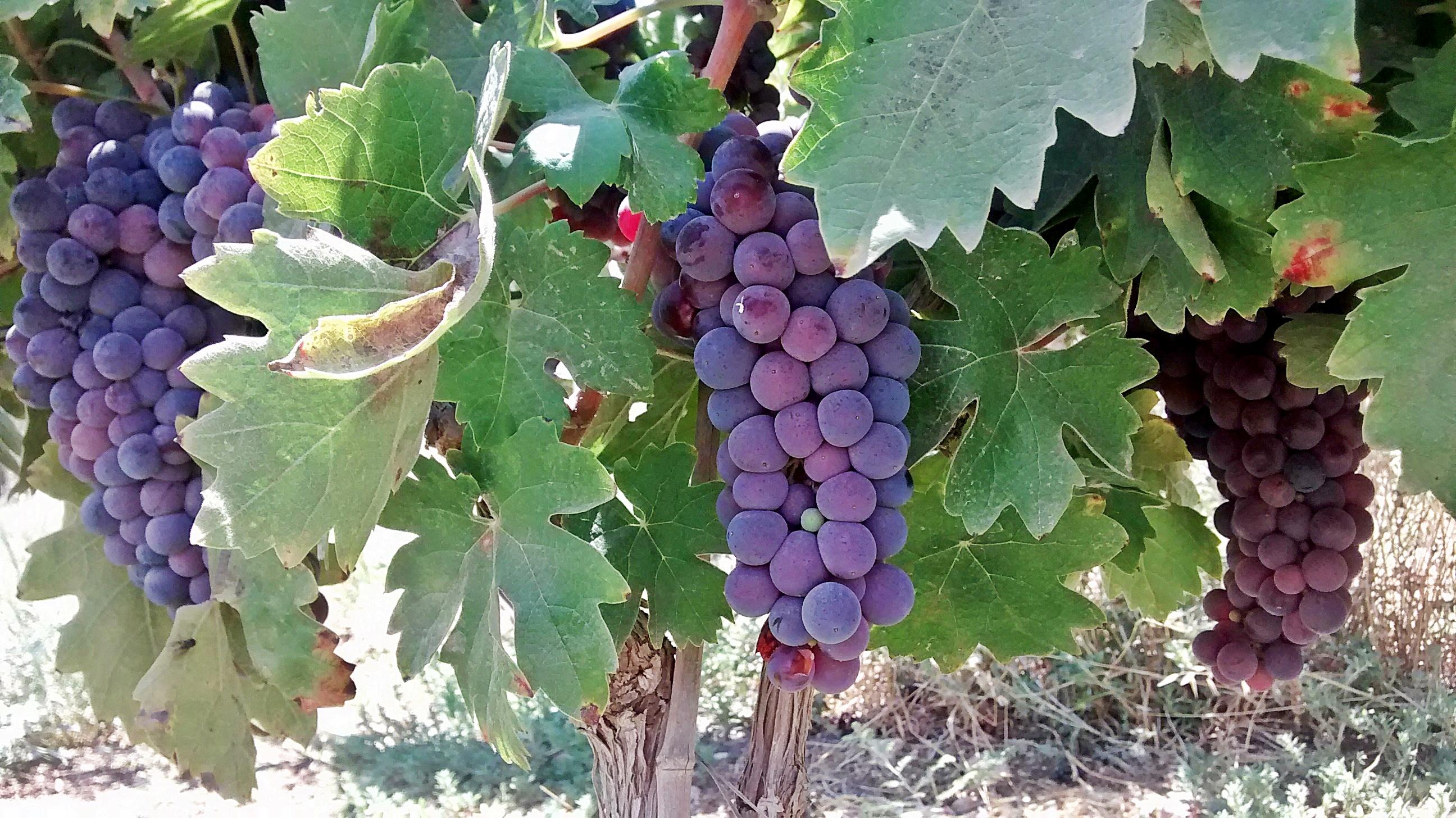 ענבי יין בשלים בכרם לקראת הבציר