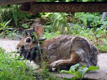 Un virus que hace tener cuernos a los conejos