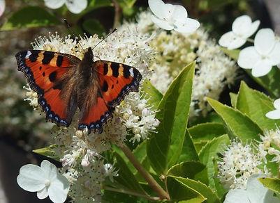 Un papillon sur un hortensia.JPG