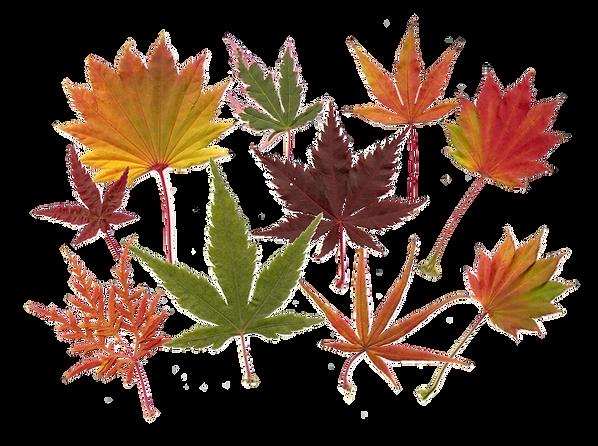 planche_feuilles_d'automne_d'érables.pn