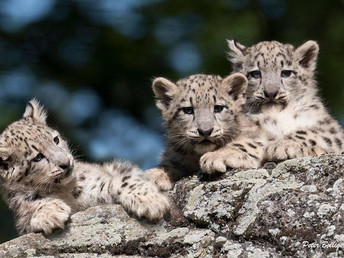 Cats Without Borders: Conserving Snow Leopards