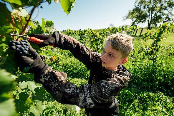Wyatt picking grapes