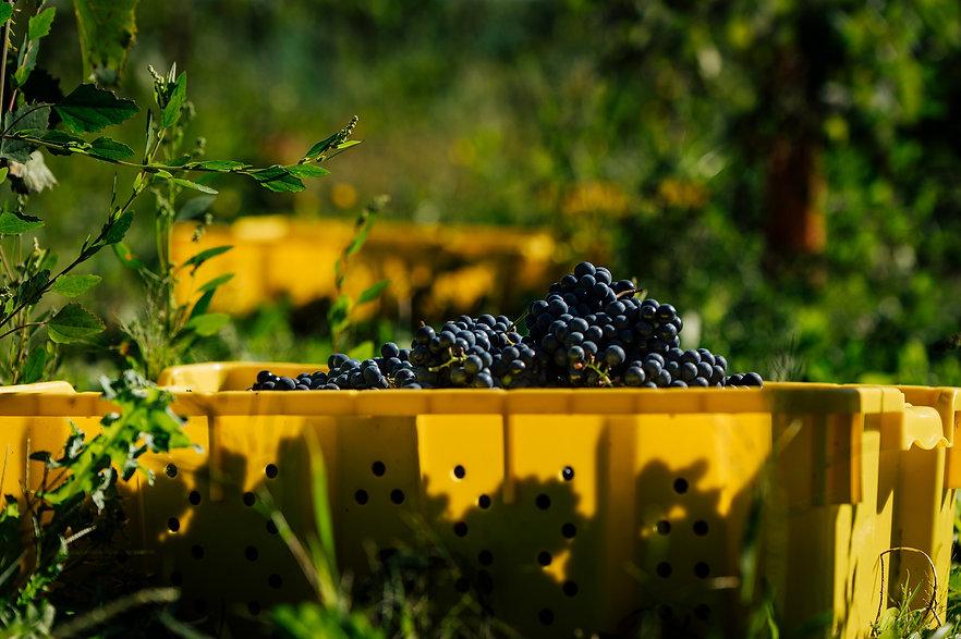 grapes-bucket.jpg