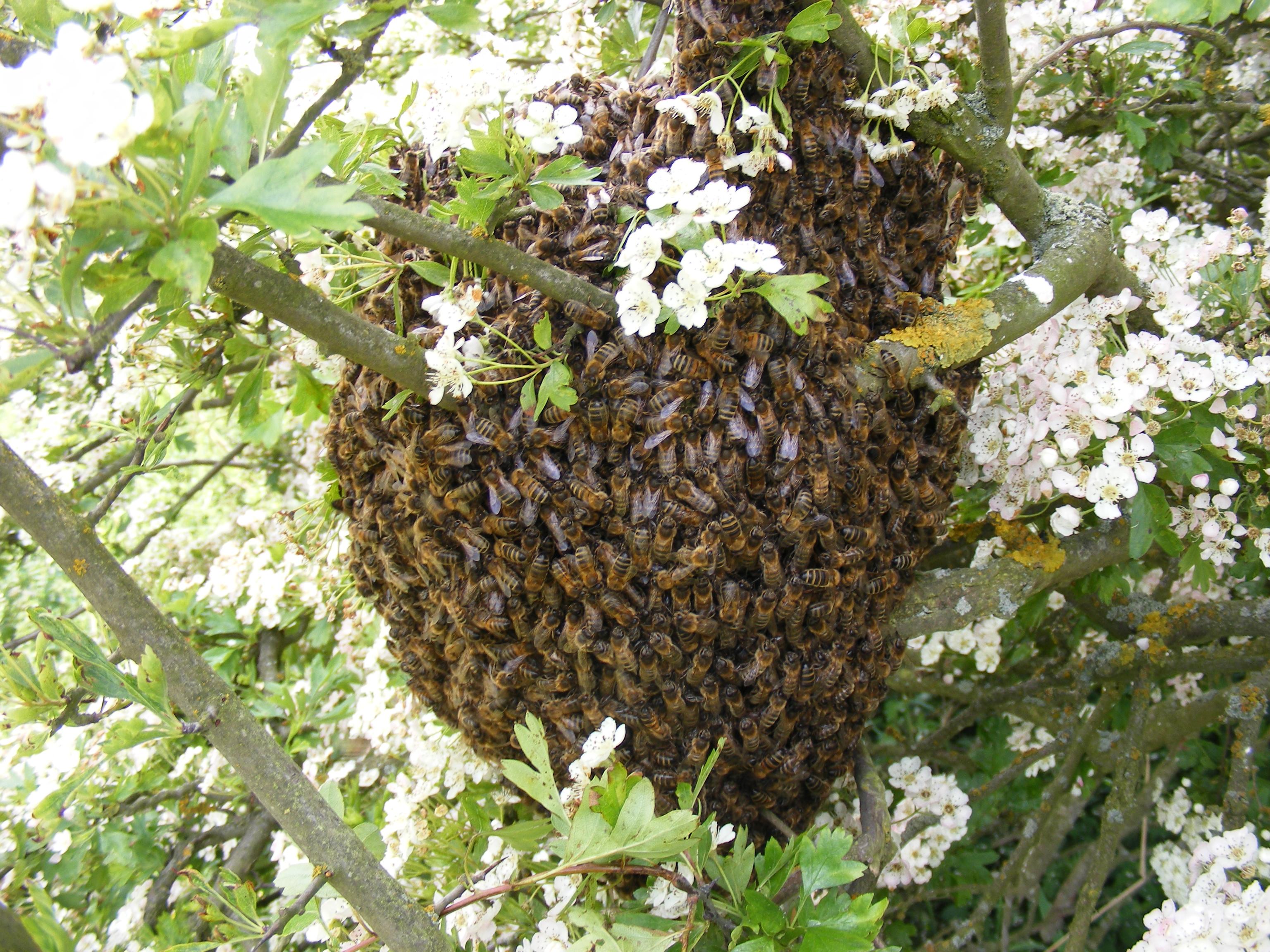 Hawthorn Swarm