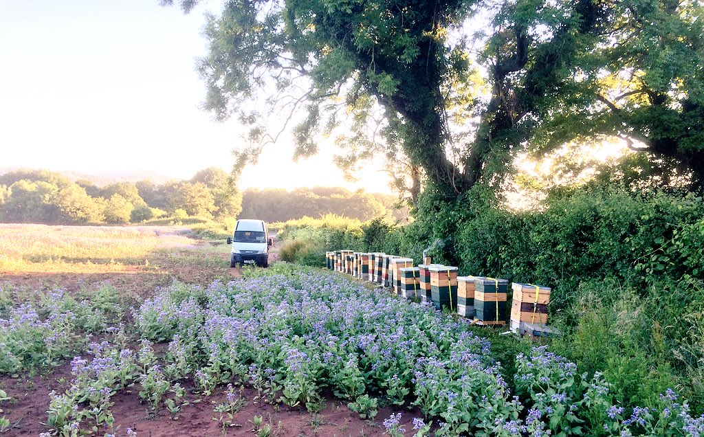 Borage Hives