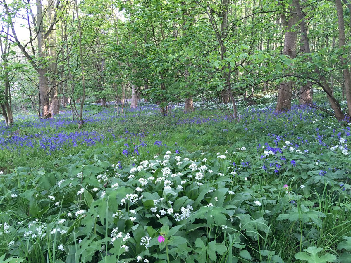 Bluebells and Ramsen