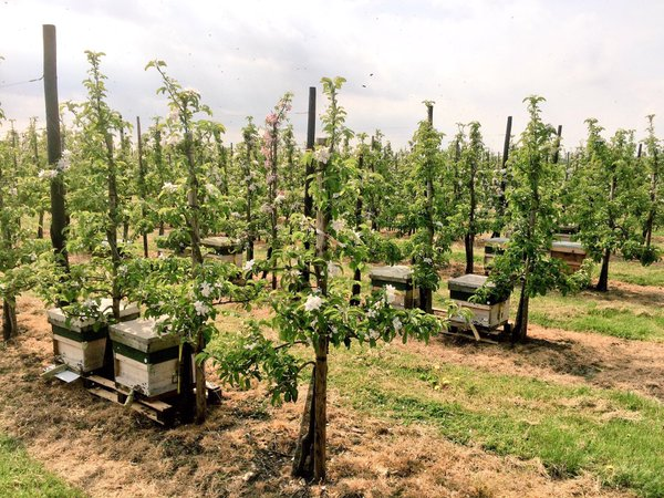 Kent Apple Pollination