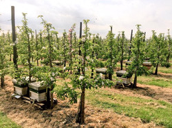 Kent Apple Pollination
