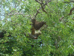 Tree Swarm