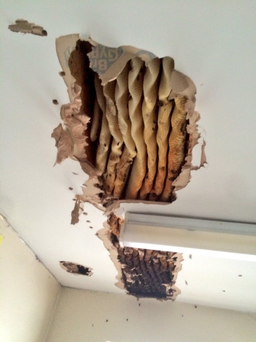 Ceiling Colony Remova