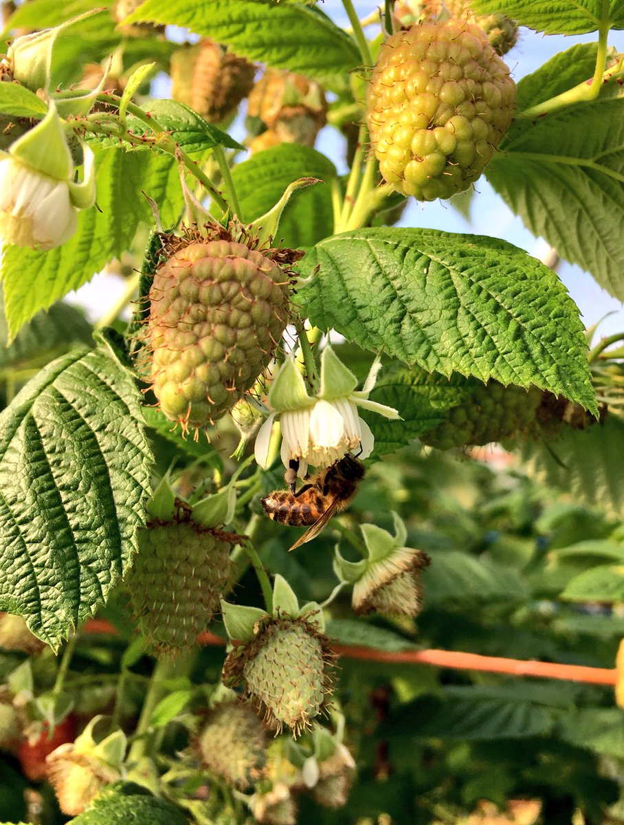 Strawberry Pollination