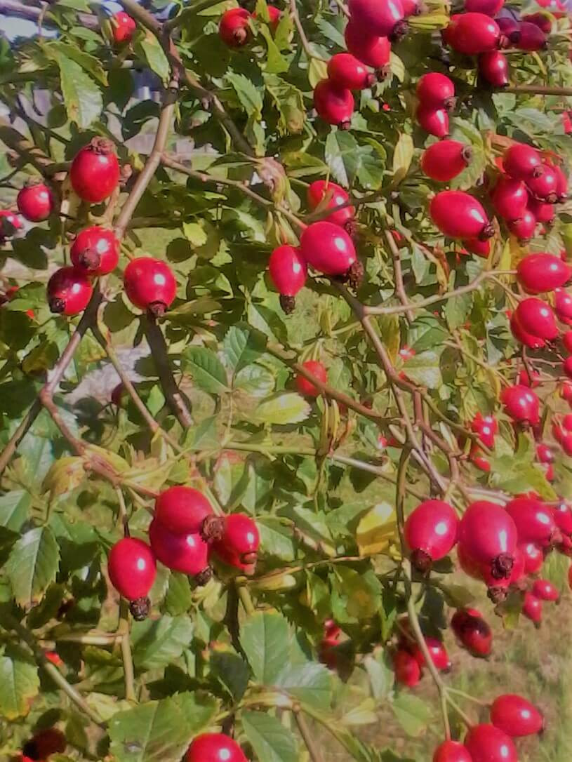 Rosehips on branches