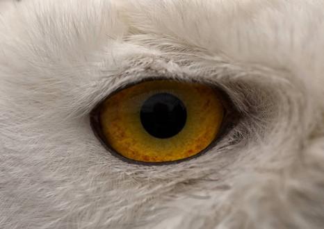 Eye of a Snowy Owl