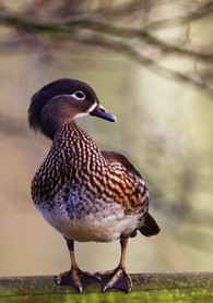 Female Mandarin Duck by Simon Mee .jpg