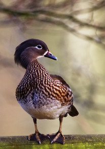 Female Mandarin Duck by Simon Mee .jpg