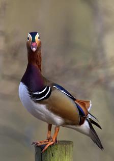 Mandarin Duck2 by Simon Mee .jpg