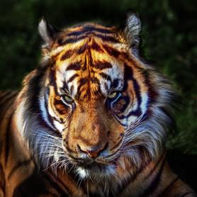 Tiger Eyes2 by Simon Mee.jpg
