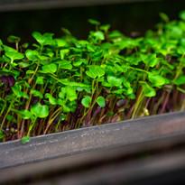 Microgreens (4).jpg