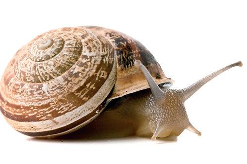 """""""Otala Lactea"""" A Couple of Pet Snails (2 pcs)"""