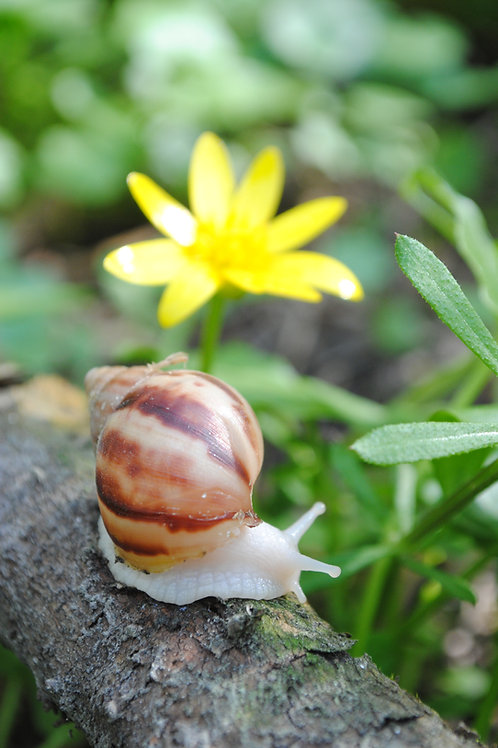 Giant African land snail baby - Achatinidae or Achatina Fulica
