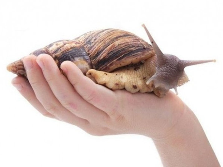 Giant african pet land snails for sale