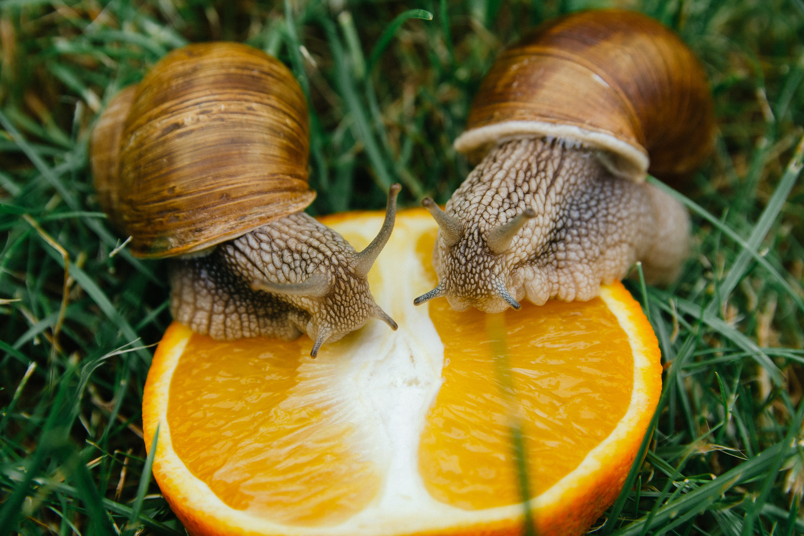 pet snails for sale for only 4 95 giant garden snails helix