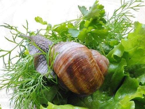 French-Snail-Farming