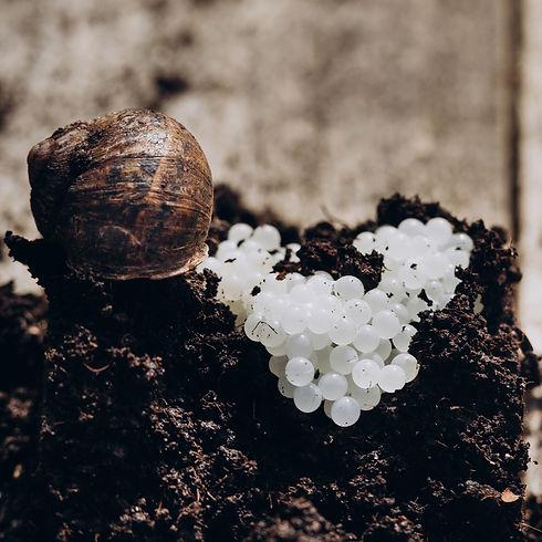 Snail-Eggs-Snail-Caviar.jpg
