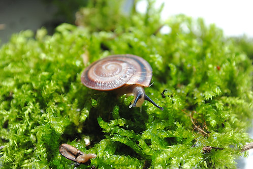 Exotic pets - Caracolus land snail (Brown)