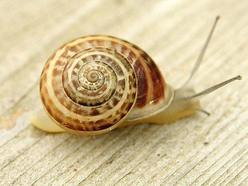 """""""Eobania Vermiculata"""" A Couple of Pet Snails (2 pcs)"""
