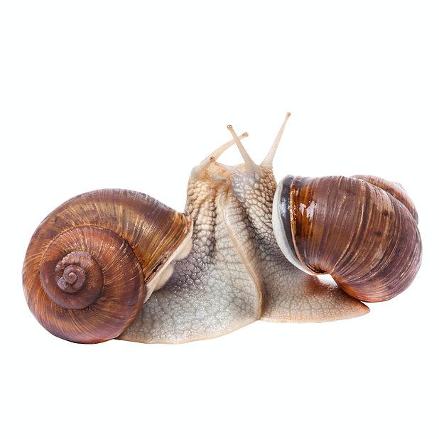 How-Do-Snails-Mate.jpg