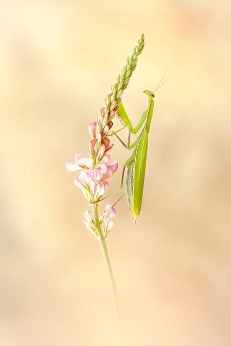 Mantis a neu 2.jpg