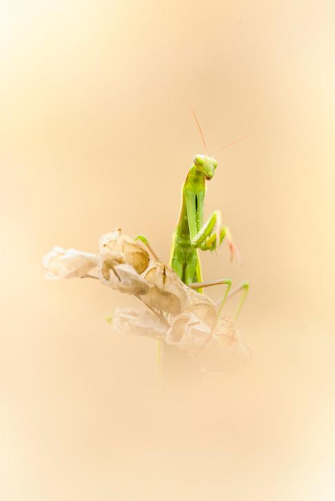 Mantis i.jpg