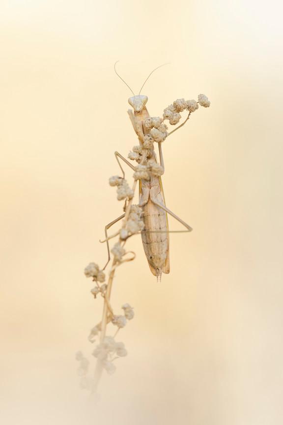Mantis c.jpg