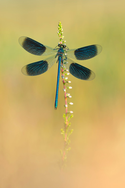 Blaugeflügelte_Prachtlibelle_1.jpg