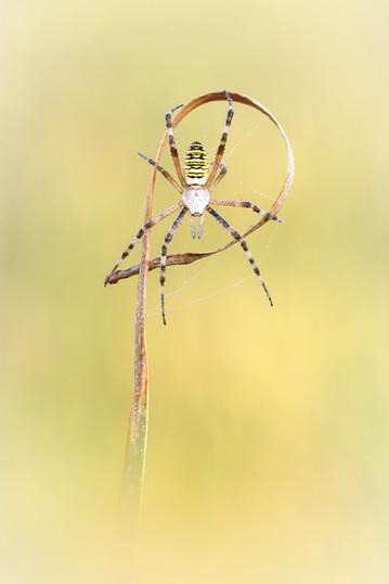 Wespenspinne.jpg