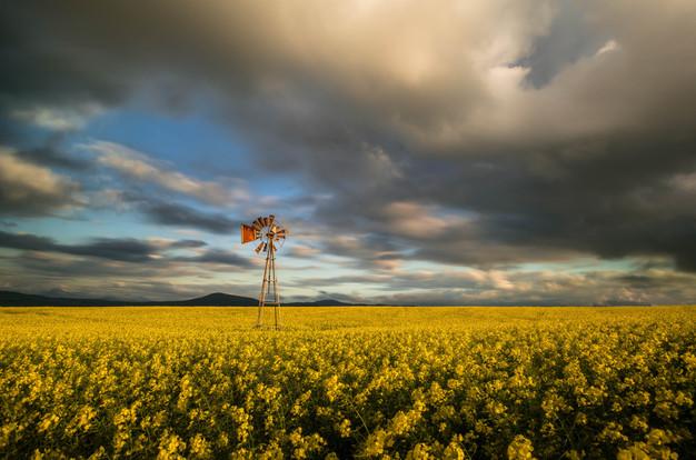 Canola Field Windpomp