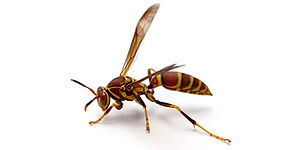 Red-Paper-Wasp.jpg
